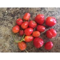 Barbados Habanero Pepper