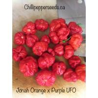 7-Pot Jonah Orange X UFO Pepper Seeds